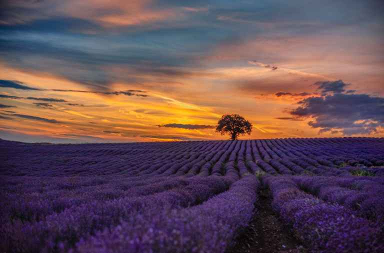 purple flower field during sunset